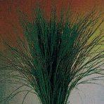 STRIP GRASS